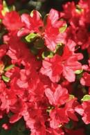 Azalea-Flower