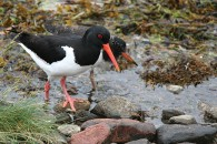 Oyster-catcher-and-Chic