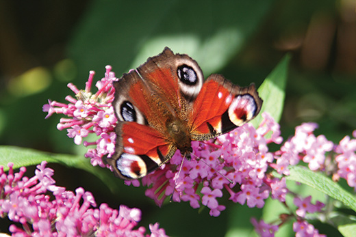 Red-Admiral A