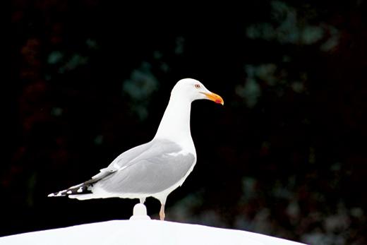 Watching-Gull